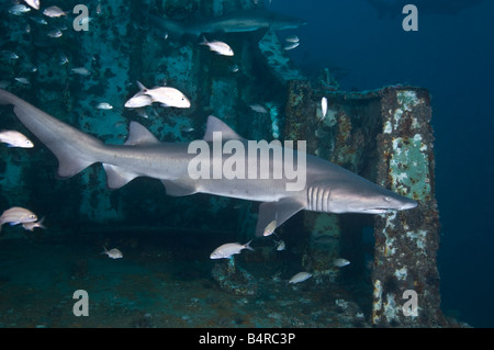 A Sand Tiger Shark swims across the deck of an underwater shipwreck off the coast of North Carolina in the United - Stock Photo