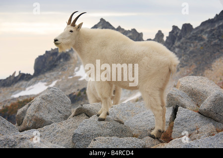Mountain goat in the Enchantment Lakes Wilderness in Washington state - Stock Photo