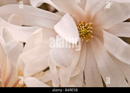 Close-up of the strap-shaped blossoms of Magnolia stellata 'Royal Star' (star magnolia) which bloom in late winter/early - Stock Photo