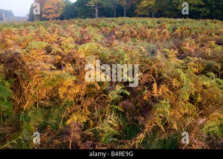 Bracken probably Common Bracken Pteridium aquilinum Surrey UK autumn - Stock Photo