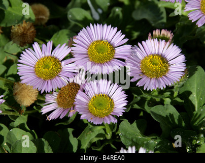 Seaside Fleabane or Seaside Daisy, Erigeron glaucus, Asteraceae California, USA, North America