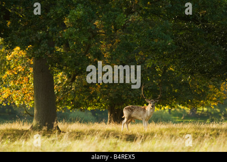 Fallow deer buck grazing in english meadow and woodland Shropshire England UK United Kingdom GB Great Britain British - Stock Photo