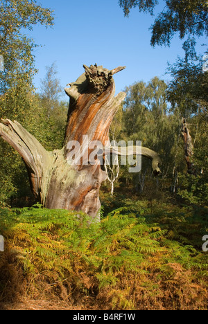 Old decayed oak in Sherwood Forest, Nottinghamshire. - Stock Photo