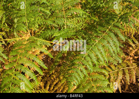 Bracken leaves in Sherwood Forest - Stock Photo