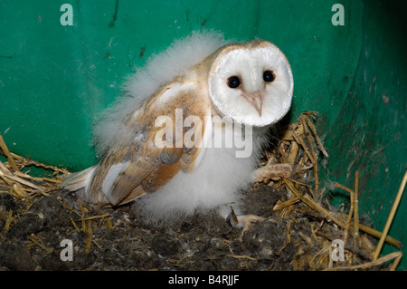 Barn owl chick (owlet) in a owl box - Stock Photo