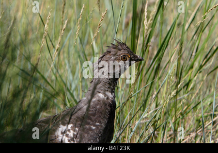 Dusky Grouse Dendragapus obscurus (head & neck image) in tall grasses in hills near Gardiner Montana in July - Stock Photo