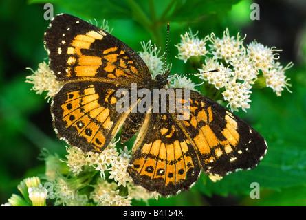Silvery Checkerspot Butterfly (Chlosyne nycteis), by Gary Meszaros/Dembinsky Photo Assoc - Stock Photo