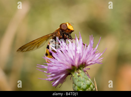 Wasp mimicing Hoverfly Volucella zonaria Peloponnese Greece - Stock Photo