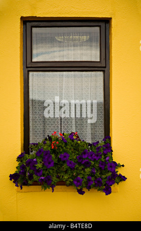 Window flowers, Box, Cottage Ireland West Cork. - Stock Photo
