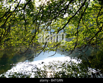 Overhanging tree in Wye Valley Derbyshire Peak District - Stock Photo