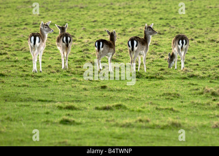 Five female fallow deer in a row showing their black and white marked bottoms - Stock Photo