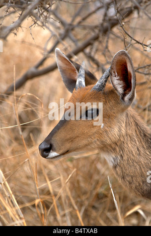 Bushbuck (Tragelaphus scriptus) in the Kruger National Park, South Africa - Stock Photo
