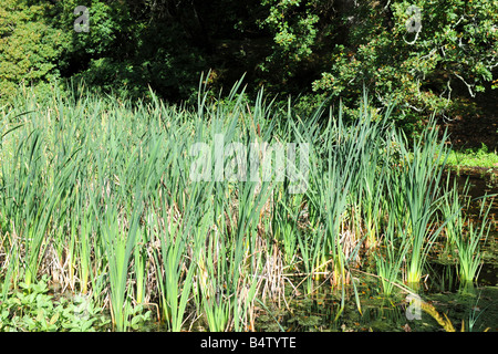 Reed Bed also known as the Papyrus plant - Stock Photo