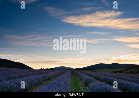 Dawn on the lavender fields near Sault with the Montagne du Buc in the distance - Stock Photo