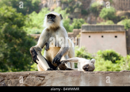 A female grey langur and her baby, Ranthambore Fort, Ranthambore National Park, Rajasthan, India - Stock Photo