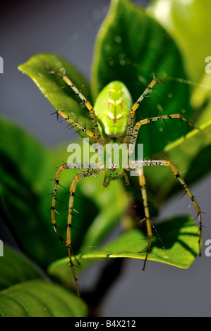 Closeup of a Green Lynx Spider (Peucetia viridans) - Stock Photo