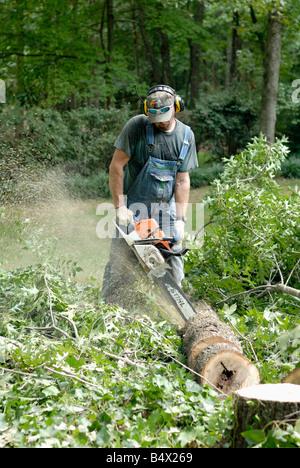 a tree surgeon cutting a fallen Oak tree - Stock Photo