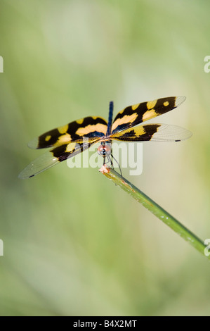Rhyothemis variegata. Common Picture wing dragonfly in the Indian countryside. Andhra Pradesh, India - Stock Photo