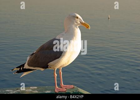 Male Sea Gull Santa Monica Bay CA, Pacific Park Pier - Stock Photo