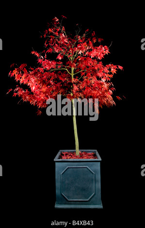 Japanese maple in a container shot at night using multiple flashes to highlight the vibrant red coloured leaves - Stock Photo