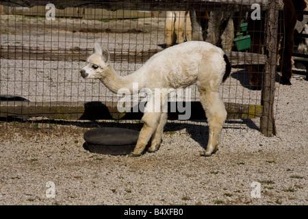 Baby Alpaca - Stock Photo