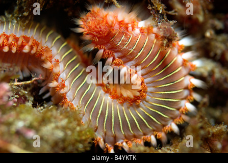 Bearded fireworm or white tufted worm Hermodice carunculata underwater closeup - Stock Photo