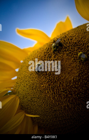 Sunflower bees with blue sky - Stock Photo