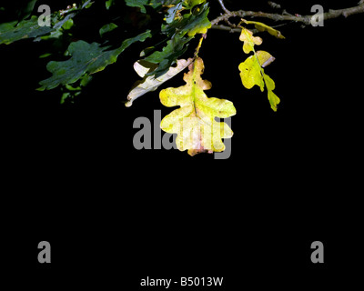 Autumnal oak leaf highlighted in sunlight - Stock Photo
