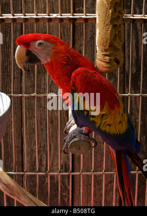 The Scarlet Macaw (Ara macao) is a large, colorful parrot. - Stock Photo