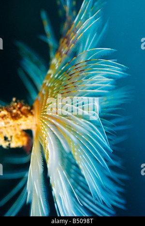 Peacock or fan worm Sabella pavonina underwater - Stock Photo