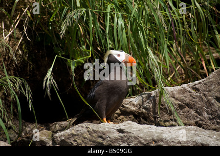 Tufted Puffin Portrait, Prince William Sound, Alaska - Stock Photo