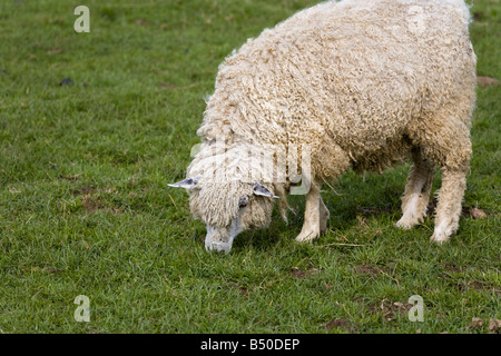 A traditional Cotswold sheep known as the Cotswold Lion at Cotswold Farm Park, near Guiting Power, Gloucestershire - Stock Photo