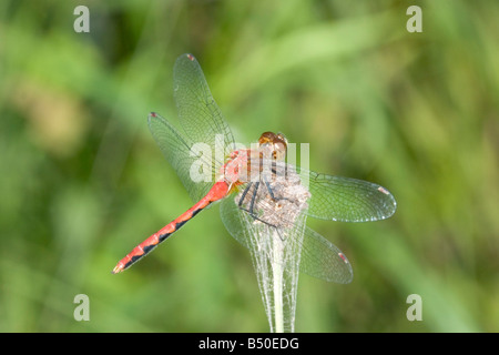 Ruby Meadowhawk Sympetrum rubicundulum Drummond Wisconsin United States 2 August Adult Male Libellulidae Stock Photo