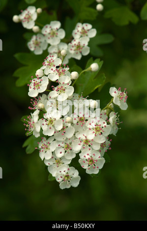May or hawthorn Crataegus monogyna flowers showing fresh pink anthers - Stock Photo