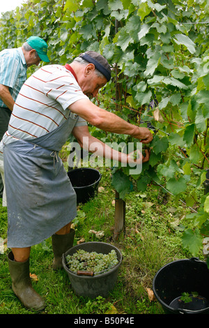 Sep 2008 - Wine Grapes harvest near Riquewihr Alsace France - Stock Photo