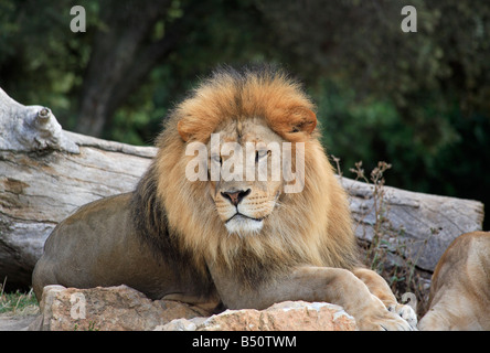 A male lion lying down in a zoo - Stock Photo