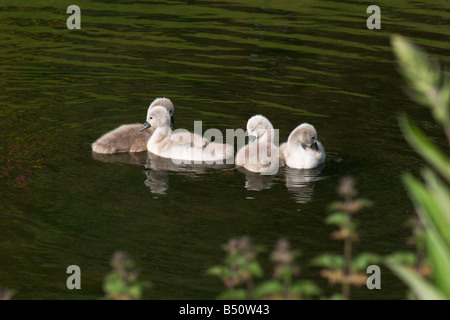 A group of four mute swan cygnets swimming in lake - Stock Photo