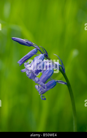 Bluebell Hyacinthoides non scripta in woodland in May - Stock Photo