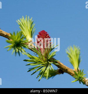 Larch rose female flower of European larch Larix decidua opens just before the new green needles - Stock Photo