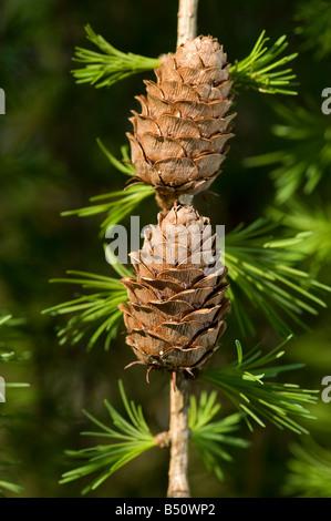 Woody cones of European larch Larix decidua with new spring needles - Stock Photo