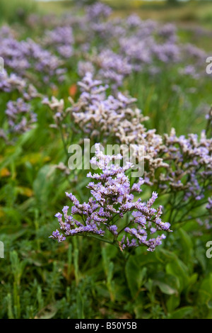 common sea lavender Limonium vulgare - Stock Photo