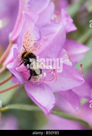 Bumblebee foraging in Rhododendron ponticum flowers with cream pollen on body aids pollination when it flies to - Stock Photo