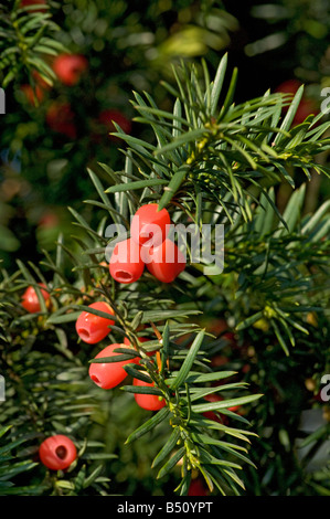 Red yew arils Taxus baccata with single seed All parts of the tree except for the aril are highly toxic - Stock Photo