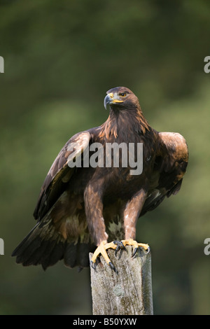 golden eagle Aquila chrysaetos perched - Stock Photo