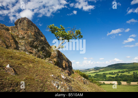 Lone oak tree clings to life on rock of Lawley Hill in Church Stretton Hills in summer sun Shropshire England UK - Stock Photo