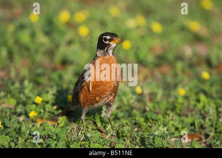 American Robin Turdus migratorius adult male Sinton Corpus Christi Coastal Bend Texas USA - Stock Photo