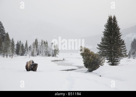 American Bison Buffalo Bison bison adult in snow Yellowstone National Park Wyoming USA - Stock Photo