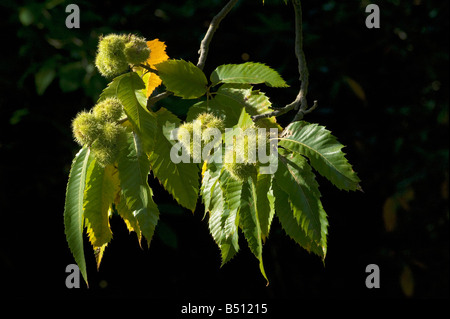 Spiky husked fruits of sweet chestnut Castanea sativa - Stock Photo
