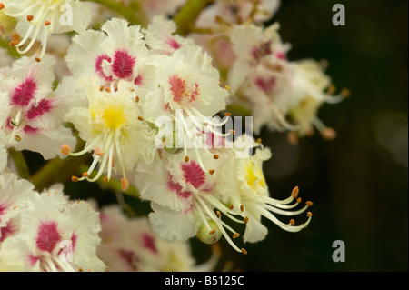 Horse chestnut flowers Aesculus hippocastanum have yellow centre at first turn red with age as pollen is exhausted - Stock Photo