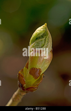 Sticky bud of horse chestnut Aesculus hippocastanum opening - Stock Photo
